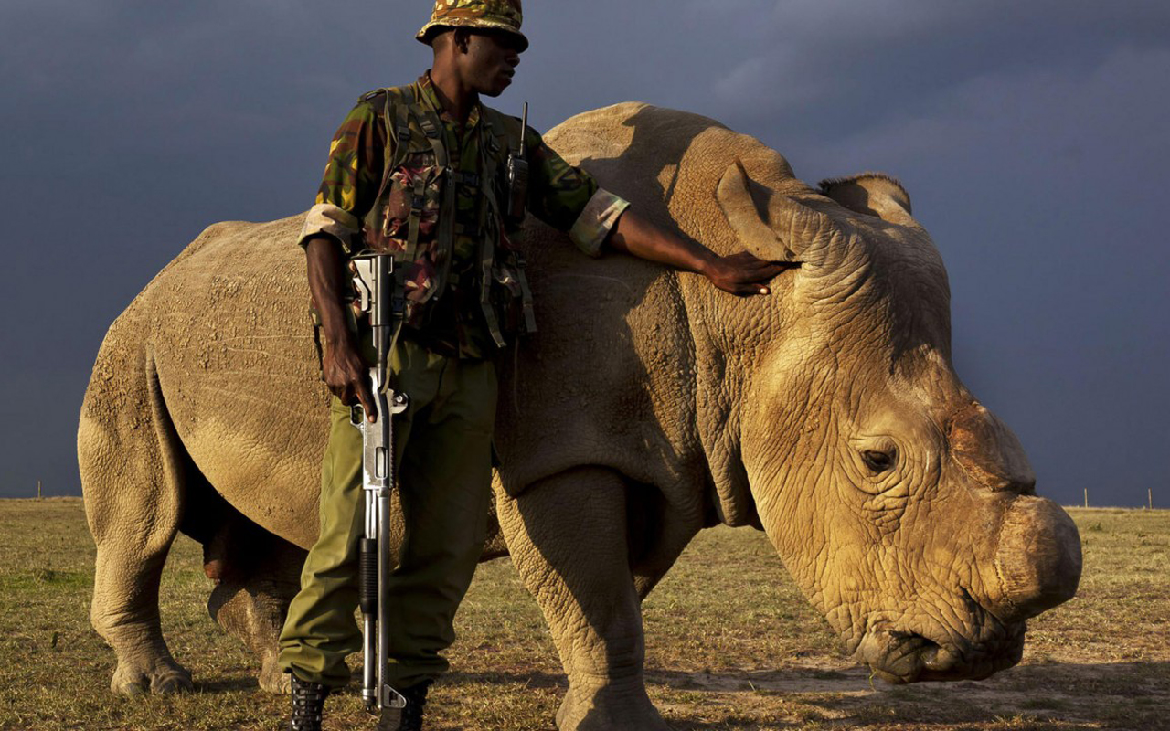 Last male northern white rhino's death highlights 'huge extinction crisis'